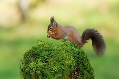 Red Squirrel (birdtracker) Tags: mammal scotland moss feeding perched redsquirrel hazelnuts markmedcalf markmedcalfphotography