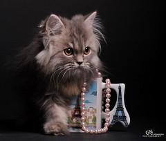Cat9661 (67) (Cat9661) Tags: animals cat حيوانات مون قطط هاف بسة فيس شيرازي بيكي بساس هملايا