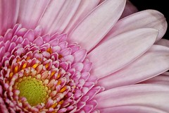 03-15-pink-gerbera (Paul Sibley) Tags: flower photoaday nikond60 2013inphotos