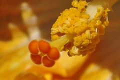 HIBISCOS - (15) (ALEXANDRE SAMPAIO) Tags: light flores luz linhas brasil cores photo plantas perfume amor natureza flor paz vida contraste beleza fotografia formas desenhos franca cor aura detalhe seduo criao exposio energia vegetao detalhes universo hibiscos emoo divino delicadeza sensibilidade harmonia sensao admirao estruturas contemplao invisvel sensvel afotando fragilidade visvel coth5 desenhodivino alexandresampaio energiadasplantas