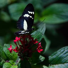 Meijer Gardens: Sapho Longwing (Michigan Transplant) Tags: flower butterfly 100v10f meijergardens butterfliesareblooming sapholongwing nikond5100
