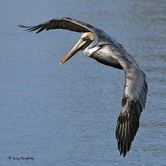 Coming in for a landing.........D800 (Larry Daugherty ~ Very Slow for several days :-)) Tags: nature fly inflight nikon ngc aves pelican npc brownpelican animalia d800 pelecanus pelecanidae pelecaniformes pelecanusoccidentalis chordata indianbeach divingbird flickrdiamond saariysqualitypictures nikon300mmf4lens bonnabelboatlaunch mygearandme mygearandmepremium mygearandmebronze mygearandmesilver mygearandmegold mygearandmeplatinum mygearandmediamond 5wonderwall photoshopcs6 newbonnabelplace