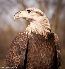 Bald Eagle (Mikeydubz1) Tags: trees bird nature outdoors eagle science raptor falcon earthday offcampus