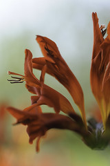 Crocosmia - closeup (gayatri_palle) Tags: flowers red summer orange flower color yellow scarlet garden colorful crocosmia