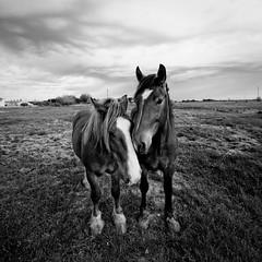 Les chevaux amoureux (sernine) Tags: horse cheval