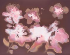 Pink and red camellias (julesnene) Tags: 8x10in california ilfordmultigradeivrcdeluxe juliasumangil backyard beforefixing botanical camellia camellias cameralessphotography flora flowersinmygarden julesene julesnene lumen lumenart lumenprint photogram pinkandredcamellias shrub gardenerjulia gardenerjuliasumangil gardener californiagarden sanfranciscobayarea gardenofdelights garden
