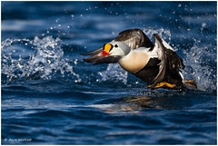 Drake king eider (DaveBartlett) Tags: norway duck flight arctic kingeider somateriaspectabilis batsfjord davebartlett