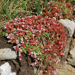 "English Stonecrop <a style=""margin-left:10px; font-size:0.8em;"" href=""http://www.flickr.com/photos/89335711@N00/8598786656/"" target=""_blank"">@flickr</a>"
