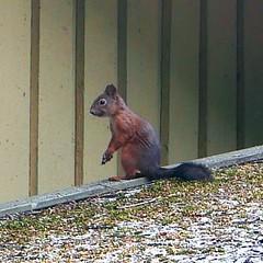 Pahus -  aikeeni huomattiin. (neppanen) Tags: orava pes helsinki suomi finland sampen discounterintelligence helsinginkilometritehdas linnunpntt