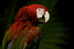 red headed macaw (Pejasar) Tags: bird macaw redhead feathers contrasts tulsazoo oklahoma colorful