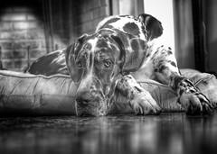 bruiser the beast (jeneksmith) Tags: grey gray blackandwhite monochrome pup greatdane canine dog sigma30mmf14art canon