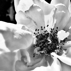 Flor centro (miriammartino) Tags: blancoynegro flor monocromtico macro blackandwhite flower