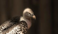 Vulture (Delbrücker) Tags: vulture geier vogel animal tier outdoor nikond610 nikkor 70200mm 28