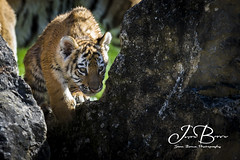 Milla and Bagai's Cubs 179 (JasonBrownPhotography) Tags: marwell marwellwildlife marwellzoo zoo amurtiger tiger siberiantiger siberian amur cub cubs animals wildlife bigcat flickrbigcats milla bagaiandmilla canon canon1dx