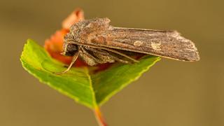 Moth, Species unknown