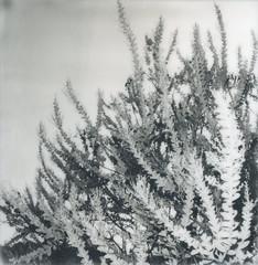Fronds (kayla polaroid photography) Tags: impossiblefilm polaroid analogfilm 600film blackandwhite nature plants tree shrubbery garden outdoors fonds