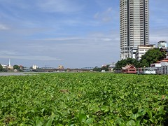 River Salad ~ Water Hyacinths (geraldm1) Tags: thailand bangkok tropics tropical asia thai chaophrayariver