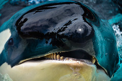 Orca Killer Whale at SeaWorld San Diego CA (mbell1975) Tags: sandiego california unitedstates us orca killer whale seaworld san diego ca sea world water pool park parc zoo sd cal calif usa american america