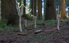 Noch mehr Parasole (Rich Art Light) Tags: pilz pilze mushromm parasol gemeiner riesenschirmling macrolepiota procera paukenschlegel