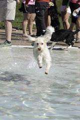 IMG_9481 (kris10pix) Tags: dogpaddle2016 dogs puppies puppy splash pool fetch dog wisconsin capitolk9s mutts purebreed leap madisonwi goodmanspool wetdog summer