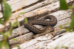 Female Adder (Gareth Christian) Tags: adder d750 fackendendown kentwildlifetrust kwt nikon viperaberus