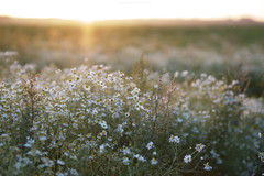 Slowly falling asleep (esmeecadoni) Tags: europe netherlands beautifulearth sky sony sunlight outdoor sun sunset summer sundown sunbeams simple simplicity minimalistic minimal light littlethings holland bokeh photography backlight green flower drenthe nature camomile