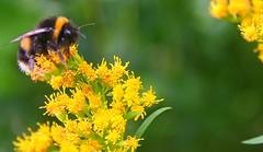 BEE (ianharrywebb) Tags: edinburgh iansdigitalphotos royalbotanicgardens flowers flower bee