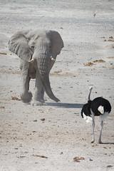 Namibia 2016 (302 of 486) (Joanne Goldby) Tags: africa africanelephant august2016 elephant elephants etosha etoshanationalpark explore loxodonta namiblodgesafari namibia safari