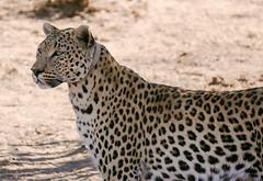 wild cat on tour... (Stefan Giese) Tags: namibia africa africancat leopard panasonic fz1000 wildlife wildcat animal tier tiere groskatze okonjima afrika africat africatfoundation