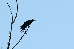 American crow, Beaver Valley, Grey Highlands (GreenRavenPhotography.com) Tags: americancrow birds birdwatching animals nature wildlife ontario greycounty