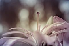 Fuji x-t10 (Jasrmcf) Tags: fuji fujinon fujifilm fujixt10 fujimacro macro nature smooth blur garden dreamy bokeh dof depthoffield bokehlicious bokehgraph 50mm carlzeiss pink beautiful flower flowers