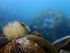 Snakelocks anemone (heartypanther) Tags: seaanemone