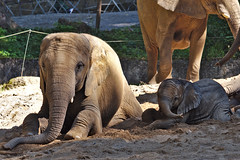 Mother and son (diarnst) Tags: outdoor elefanten elephants sand baby zoo wuppertal