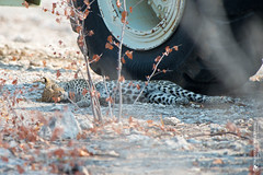 DSC_3766.JPG (manuel.schellenberg) Tags: namibia animal etosha nationalpark leopard