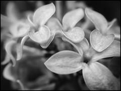 Lilac 2 -BW (Firery Broome) Tags: flowers blooms lilac details flowerhead cluster cellphone phonephoto iphone iphone5s externallens olloclip macro closeup dof bokeh ipad ipaddarkroom apps snapseed fotograf blackandwhite blackwhite bw monochrome monochromebokehthursday nature naturelovers earthnature artofnature blackandwhitenature iphonenature fairhill cecilcounty maryland marylandnature 365