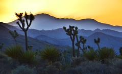 Joshua Tree National Park (Six Sigma Man (Thanks for the 2.1 Million views)) Tags: joshuatreenationalpark sunset california nikon nikond3200 mojave desert dusk west nationalpark yucca joshua joshuatree
