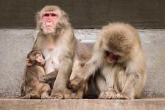 2016-09-17-18h26m41.BL7R8262 (A.J. Haverkamp) Tags: canonef100400mmf4556lisiiusmlens amsterdam zoo dierentuin httpwwwartisnl artis thenetherlands japansemakaak japanesemacaque dob09062016 pobamsterdamthenetherlands