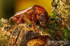 Beetle Species (gcampbellphoto) Tags: beetle invertwooland nature wildlife biodiversity gcampbellphoto northantrim northernirland