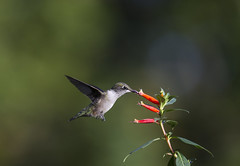 Hummingbird with Cigar Plant 10 (Connie Etter Photography) Tags: flight indiana flower eat cigarplant canon 100400mm rubythroat rubyredthroat 1dmarkiv
