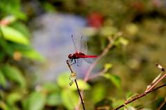 Rote Libelle (Yukkuriko) Tags: singapur singapore bearbeitet macritchiereservoir prunustrail  libelle dragonfly  rotelibelle reddragonfly rot red