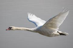 Mute Swan (terrylaws526) Tags: birds muteswan newhythe wildlife