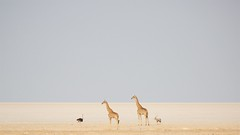 The magic of Etosha......... (piazzi1969) Tags: etosha pan sand desert giraffes wildlife africa afrika namibia magic scenic canon eos 5d markiii ef100400mm ostrich oryx gemsbock sands