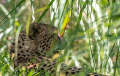 Waiting... (knoxnc) Tags: bokeh waiting nikon shade nature latesummer sunlight wild tallgrasses d7200 cheetah