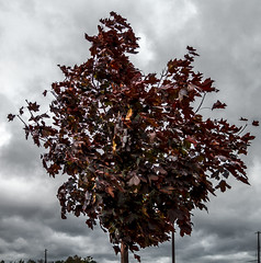 Maple (1 of 1) (David James' Photography) Tags: tree maple newbie beginner lightroom overcast nikon dslr d3200