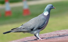 Wood Pigeon  (16) Eating that Hemp seed makes your eyes go Funny (John Carson Essex) Tags: thegalaxy thegalaxystars rainbowofnature supersix