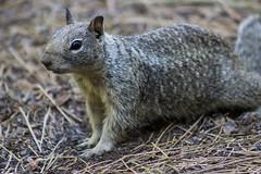 Yosemite Squirrel II (fishmonger45) Tags: squirrel nature yosemite