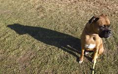 Light, Shade, and Shadow - Meike the Boxer (2sheldn) Tags: shadow light meike boxer dog sheldn canon t2i 550d sheldnart copyrightdanielsheldon canine allrightsreserved copyright sheldon danieljsheldon rebel eos 550 license fawn danielsheldon