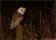 The Night Owl (JDS-photo) Tags: white bird night post flash ghost watching norfolk owl handheld hunter supper roadside barnowl jammo canoneos60d canonef400mmlf56usm