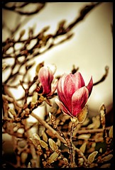 RESISTING DIE (*atrium09) Tags: flower portugal dof flor madeira atrium09 rubnseabra