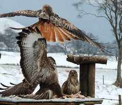 kites buzzard 046 in the snow (ivorrichardk) Tags: kitsbuzzard